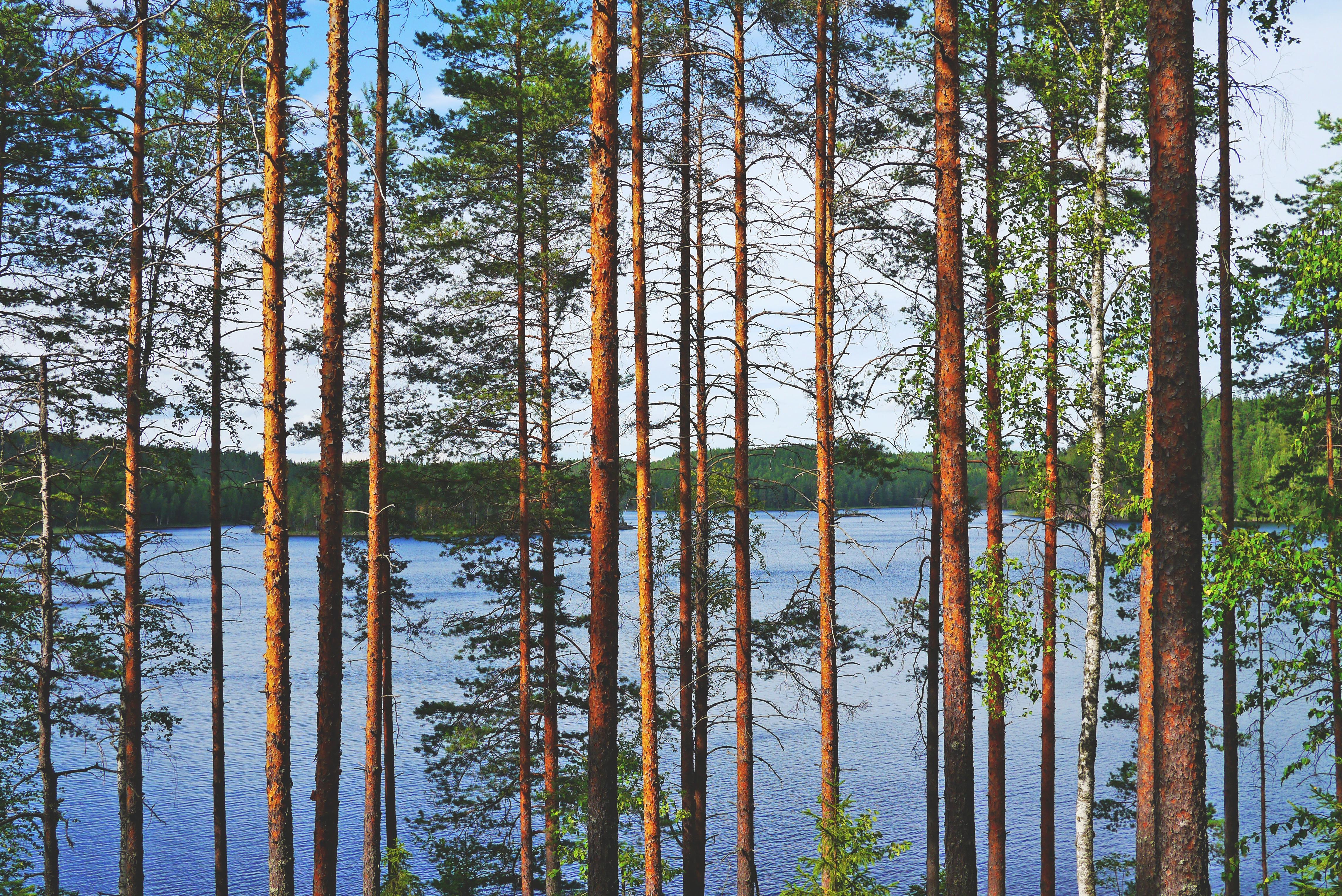 Arktinen kuva_järvi ja mäntyjä